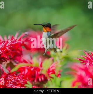 Ruby-throated, Archilochus colubris, north eastern ontario, Canada - Stock Photo