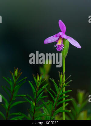 Snake mouth orchid, Pogonia ophioglossoides, north eastern ontario, Canada Stock Photo