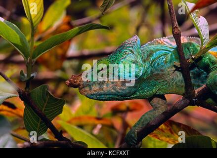 Madagascar. Wildlife. Chameleon. - Stock Photo