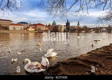 Swans on bank of Vltava river as Charles Bridge on background in Prague, Czech Republic. - Stock Photo