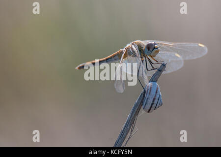 dragonfly close up portrait - Stock Photo