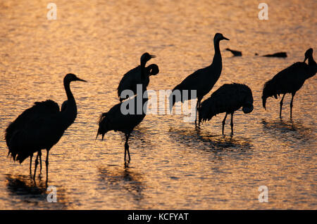 cranes silhouette on the background of the lake during sunrise - Stock Photo