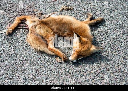 Fox killed crossing a rural road, Sottisham, Suffolk, UK. - Stock Photo