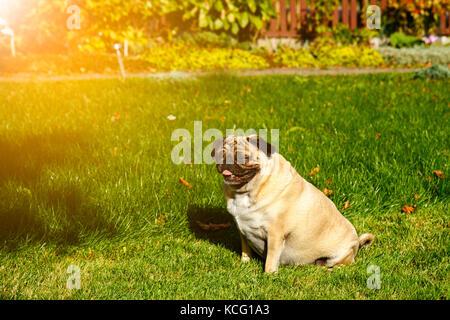 Pug dog in the garden - Stock Photo