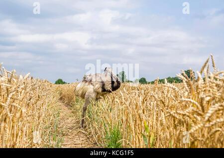 The american greater rhea (Nandu, Rhea americana) cleaning its plumage in a grainfield in Mecklenburg-West Pomerania, - Stock Photo