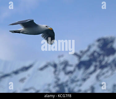 Glaucous-winged seagull flying past snow covered mountains in Alaska - Stock Photo