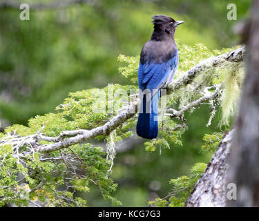 Beautiful blue Stellar's jay perched on green pine branch in the Tongass National forest, Alaska - Stock Photo