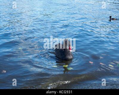 A beautiful black swan cygnus atratus swimming in a pond in autumn. - Stock Photo