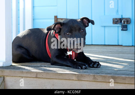 staffordshire bull terrier puppy dog laying on beach hut decking - Stock Photo