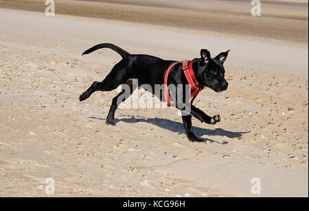 staffordshire bull terrier dog on beach - Stock Photo