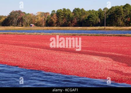 Flooding the cranberry bog is part of the wet-harvest process. Harvest season is from late September until early - Stock Photo