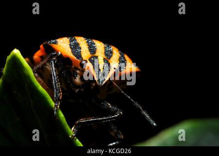 Italian striped-bug / Minstrel bug / Harlequin bug (Graphosoma lineatum / Graphosoma italicum) - Stock Photo