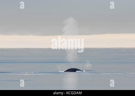 Blow through blowhole of blue whale (Balaenoptera musculus) surfacing the Arctic ocean, Svalbard, Norway - Stock Photo