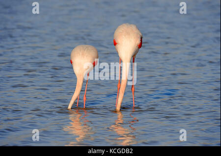 Greater Flamingo, pair, Camargue, Provence, Southern France / (Phoenicopterus roseus) | Rosaflamingos, Paar, Camargue, - Stock Photo
