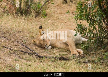 Female lion resting in shade(panthera leo), Masai Mara National Game Park Reserve, Kenya, East Africa - Stock Photo