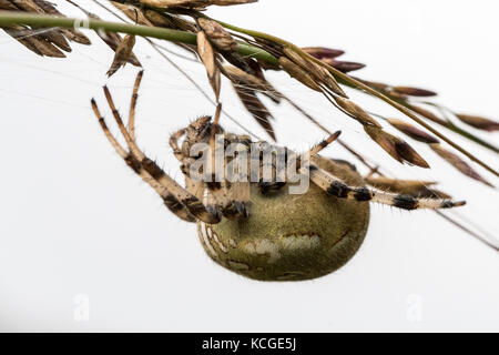 Four spot orb weaver Araneus quadratus. A female spider hanging upside down on a straw - Stock Photo