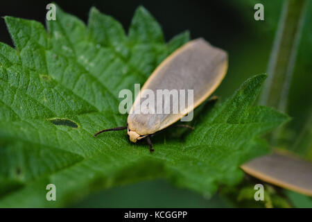 Dingy footman moth on the leaf of a stinging nettle in summer - Stock Photo