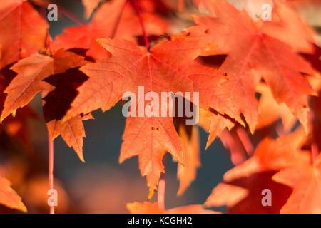 Red maple leaves photographed in Maple Grove, Minnesota. - Stock Photo