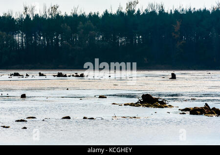 Remains of dark decaying tree stumps contrasted against large muddy pond and dense forest in distance. - Stock Photo