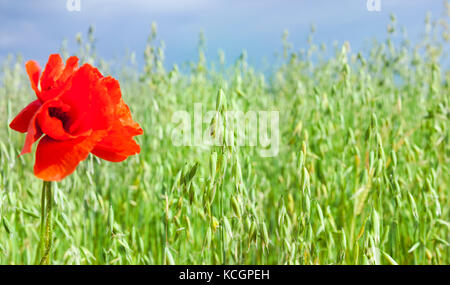 Red poppy flower on field with green stems of oats. Focus on green oats, little depth of field. Photo close up - Stock Photo