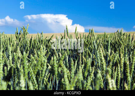 Agricultural field on which grow immature young cereals, wheat. Blue sky with clouds in the background - Stock Photo