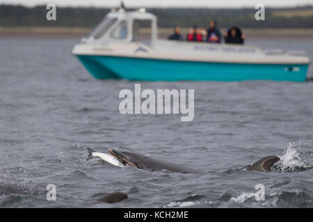 Bottlenose dolphin (Tursiops truncatus) eating a fish in the Moray Firth with a dolphin watching boat in the background, - Stock Photo