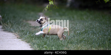 american staffordshire terrier puppy outdoors on a grass,image of a - Stock Photo