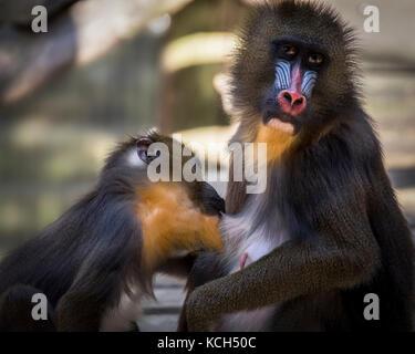 Mandrill monkey - Stock Photo