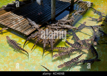 Juvenile American alligators (Alligator mississippiensis) basking in sun at Gatorland - Orlando, Florida USA - Stock Photo