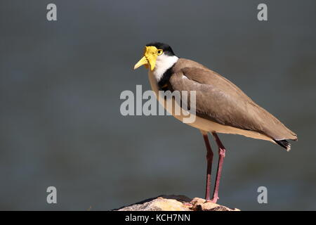 spur-winged or masked-plover - Stock Photo