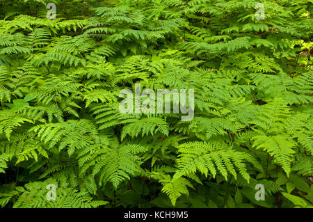 A lush, green cover of Bracken Ferns growing in the boreal forest. (Pteridium aquilinum), Ontario, Canada - Stock Photo
