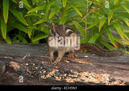 Close-up of Eastern chipmunk (Tamias striatus) filling cheek pouches with seed.  Grand Portage State Park, Minnesota, - Stock Photo