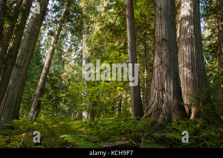 Inland Rain Forest, Western Red Cedar (Thuja plicata), The Ancient Forest Trail outside Prince George, BC, Canada - Stock Photo