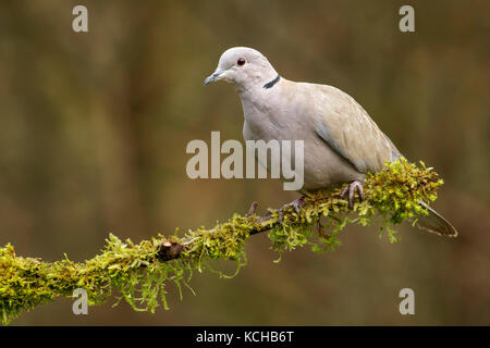 Eurasian Collared Dove (Streptopelia decaocto) perches on a mossy branch in Victoria, British Columbia, Canada. - Stock Photo