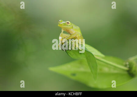Glass Frog perched on a branch in Costa Rica - Stock Photo