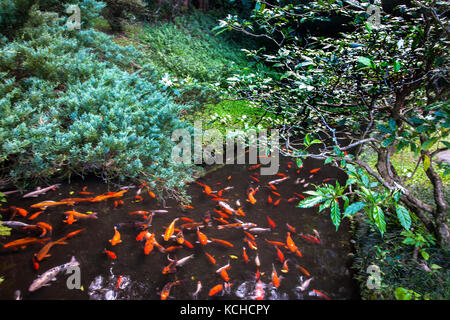 Koy fish in a pond stock photo royalty free image for Plenty of fish oahu