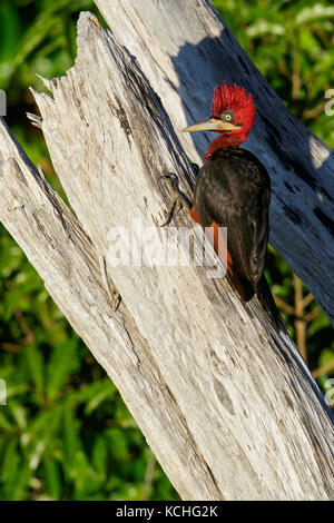 Red-necked Woodpecker (Campephilus rubricollis) perched on a branch in the Amazon of Brazil. - Stock Photo