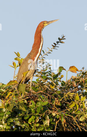 Rufescent Tiger-Heron (Tigrisoma lineatum) perched on a branch in the Pantanal region of Brazil. - Stock Photo