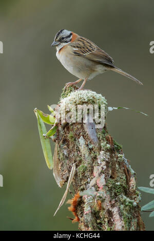 Rufous-collared Sparrow (Zonotrichia capensis) perched on a branch in the Atlantic Rainforest Region of Brazil. - Stock Photo