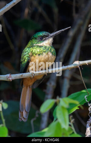 Rufous-tailed Jacamar (Galbula ruficauda) perched on a branch in the Pantanal region of Brazil. - Stock Photo