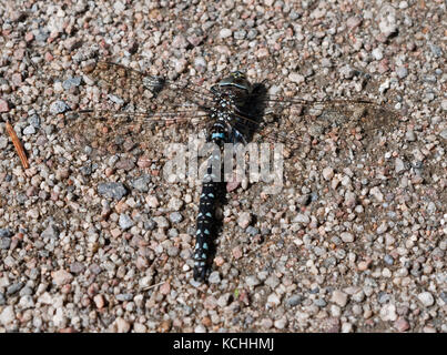 Male common hawker dragonfly (Aeshna juncea) on Rannoch Moor, Scottish Highlands - Stock Photo