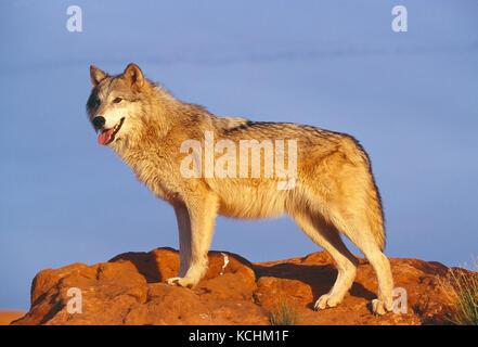 USA. Wildlife. Gray Wolf. - Stock Photo