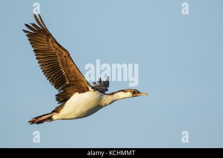 South Georgia Shag (Phalacrocorax georgianus) flying over the ocean searching for food near South Georgia Island. - Stock Photo