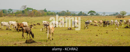 Panorama of skinny African cattle herd grazing and walking on green field in Ivory Coast, West Africa - Stock Photo