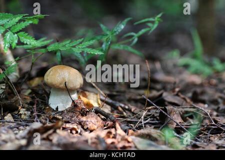boletus mushroom drop of water - Stock Photo