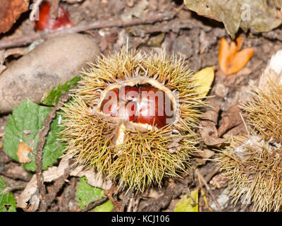 brown ripe fresh sweet chestnuts on forest floor with green shells open; essex; england; uk - Stock Photo