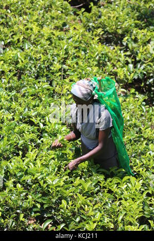 tfrau beim pflücken von tee auf einer plantage in Sri Lanka - Woman picking tea on a plantage in Sri Lanka - Stock Photo