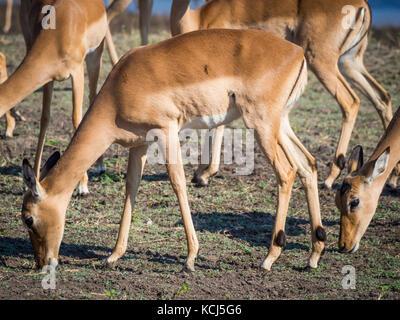 Group of impala antelopes feeding and grazing in front of Chobe River, Chobe National Park, Botswana, Africa - Stock Photo