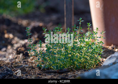 The herb Thyme, growing in a Sydney vegetable garden - Stock Photo