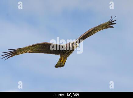 Long-winged Harrier (Circus Buffoni) hunting over Caroni Rice Fields Trinidad - Stock Photo